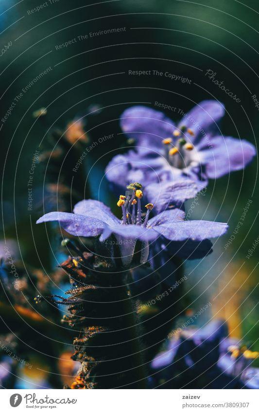 Nahaufnahme der aufgerichteten Staubblätter einer violetten Blüte von Polemonium caeruleum Polmonium caeruleum Jakobs-Leiter griechischer Baldrian becherförmig