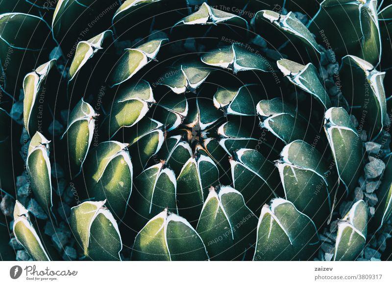 Nahaufnahme des von den Blättern einer Agave victoriae gebildeten kreisförmigen Musters Königliche Agave Königin Victoria Agave spargeln Agavoideae Sukkulente