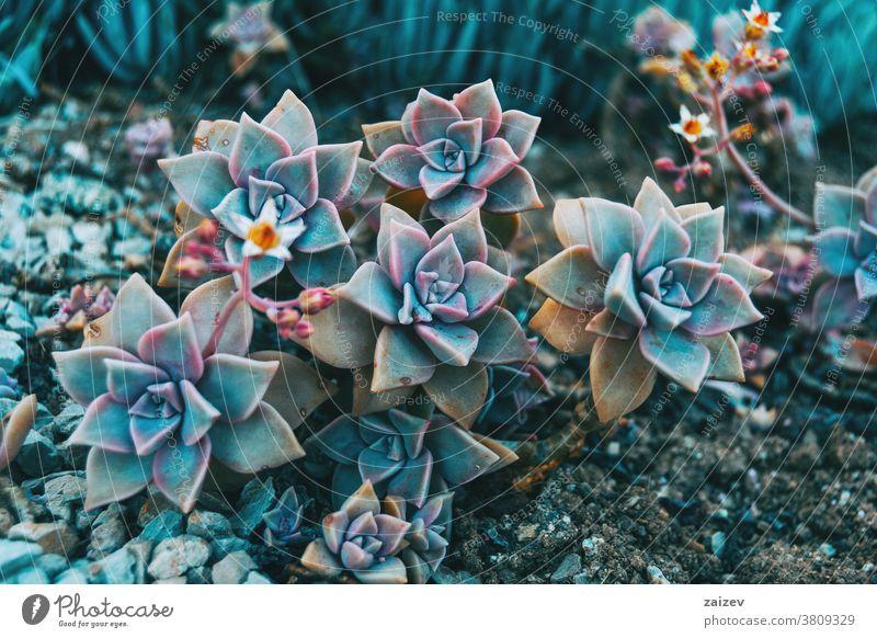 Nahaufnahme einiger Blüten von Graptopetalum paraguayense graptopetalum paraguayense Crassulaceae sedum weinbergii Perlmuttpflanze Geisterpflanze Sukkulente