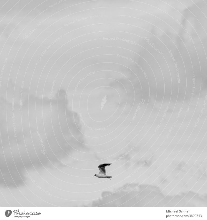 Fliegende Möwe und graue Wolken Vogel Himmel fliegen Freiheit Tier Flügel allein Flug links Schwarzweißfoto schwarzweiß