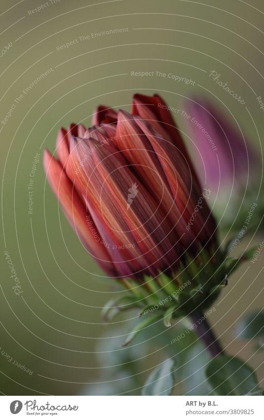 Blume in Erwartung knospe vor dem Aufblühen blume blüte natur Pflanze