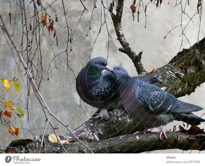 ~ November~Episode ~ Vogel Taube Flügel Krallen 2 Tier Tierpaar Brunft berühren genießen Kommunizieren authentisch Freundlichkeit Zusammensein nah blau grau