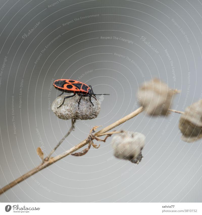 Feuerwanze mit Gesicht auf dem Rücken Natur Insekt Käfer Wanze rot Tier Nahaufnahme Pflanze krabbeln Makroaufnahme Hintergrund neutral schwarz
