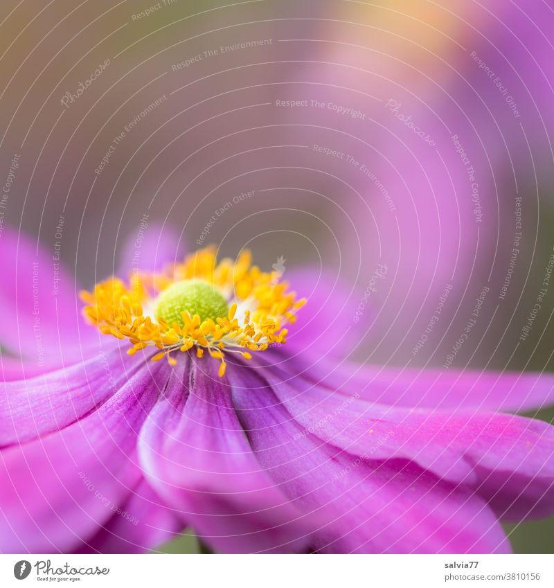Blütenkönigin im Herbst Herbstanemone Blume Garten Blühend Natur Pflanze Anemonen rosa pink Makroaufnahme Nahaufnahme schön Schwache Tiefenschärfe Duft