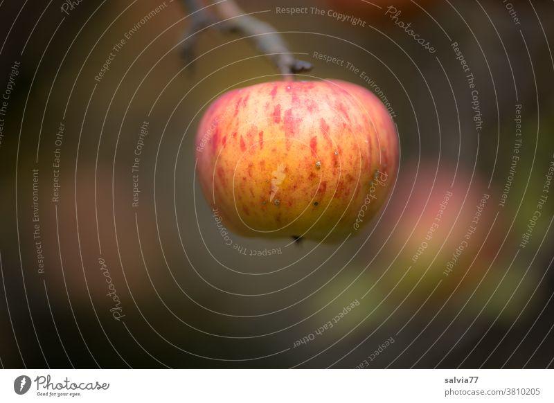 ein reifer Apfel hängt am Zweig und wartet darauf gepflückt zu werden Ernte Herbst Frucht frisch Natur saftig Lebensmittel Gesundheit lecker süß natürlich