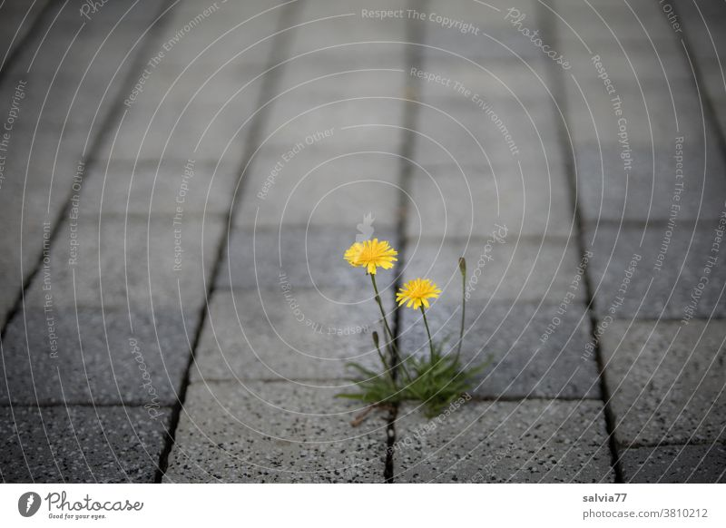 Pionierpflanze wächst aus Ritze von Pflastersteinen Blume Herbstlöwenzahn blühend gelb grau Straße wachsen Wachstum Pflanze leuchtend Durchsetzungsvermögen