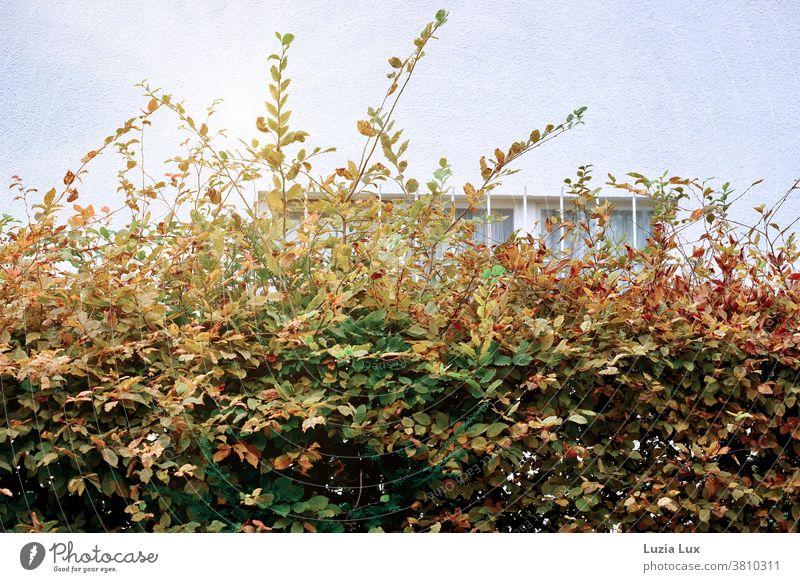 Herbstliche Hecke vor einem vergitterten Kellerfenster herbstlich Herbstlaub Außenaufnahme Tag Hauswand Fenster Gitter Herbstfarben Herbstfärbung Menschenleer