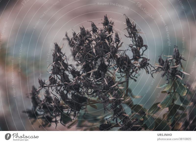 Auch die Natur ist vergänglich Blüte vertrocknet Pflanze trocken Außenaufnahme Schwache Tiefenschärfe Unschärfe verblüht braun grau Gedeckte Farben Herbst Blume