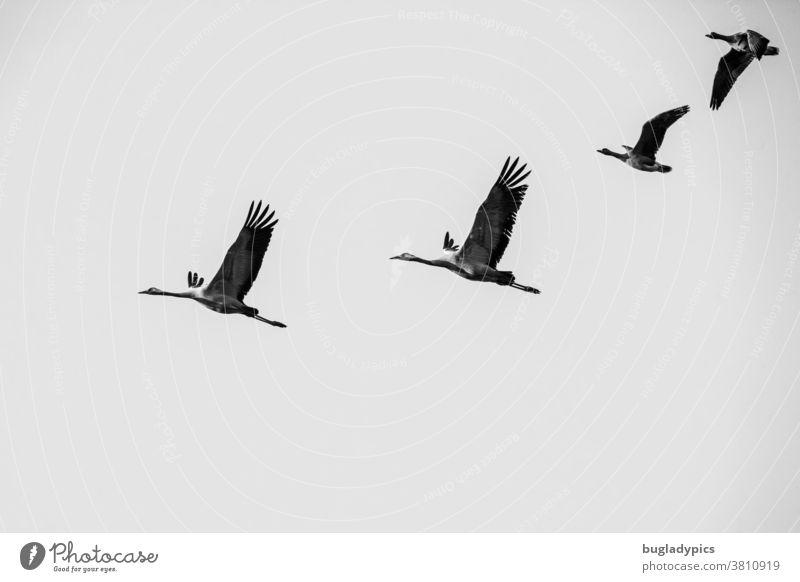 Schwarzweißfoto von zwei Kranichen und zwei Blässgänsen im Flug. Kraniche am Himmel Gänse Zugvogel Zugvögel Vogelschwarm Fliegen Vögel schwarz-weiss Natur