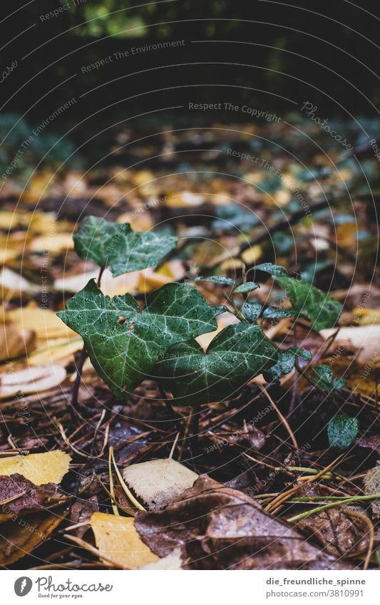 Efeu auf dem Friedhof Laub Blätter Herbst Natur herbstlich Herbstlaub Wald Baum Herbstfärbung Außenaufnahme grün Umwelt Blatt Farbfoto Pflanze Herbstbeginn