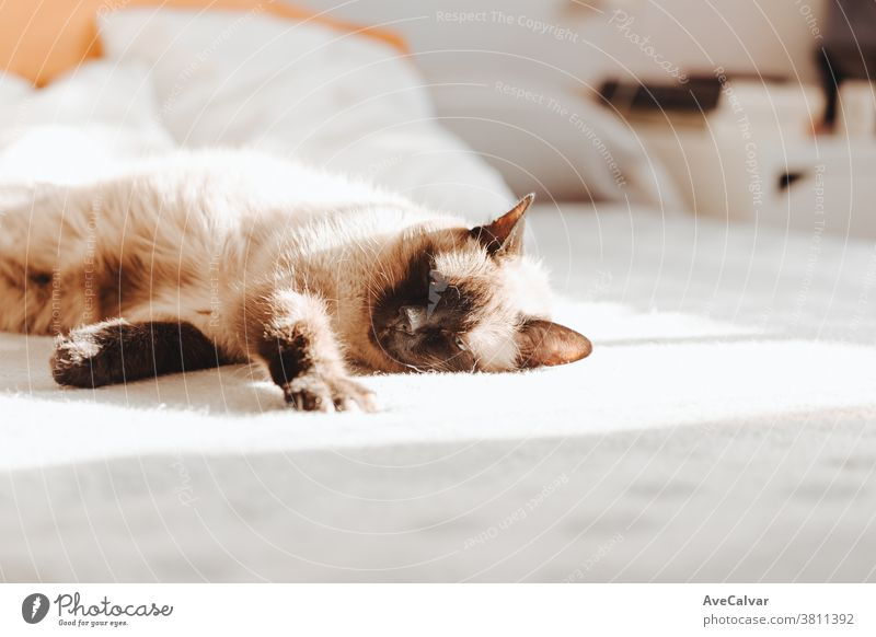 Siamkatze, die an einem hellen Tag über einem Bett mit Kopierraum schläft liebevoll Farben Kopierbereich Frieden träumen im Innenbereich schlafen nach oben