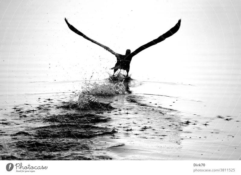 Abflug: Kormoran hebt ab von der Wasseroberfläche Vogel Start Abheben fliegen Flug Wasservogel Flügel Tier Natur Außenaufnahme Wildtier Menschenleer Tag