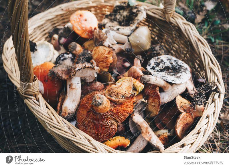 Korb mit frischen Champignons, Draufsicht Pilze Wald Herbst Natur natürlich Lebensmittel essbar Sammeln Hintergrund Jagd farbenfroh Sommer Kommissionierung wild