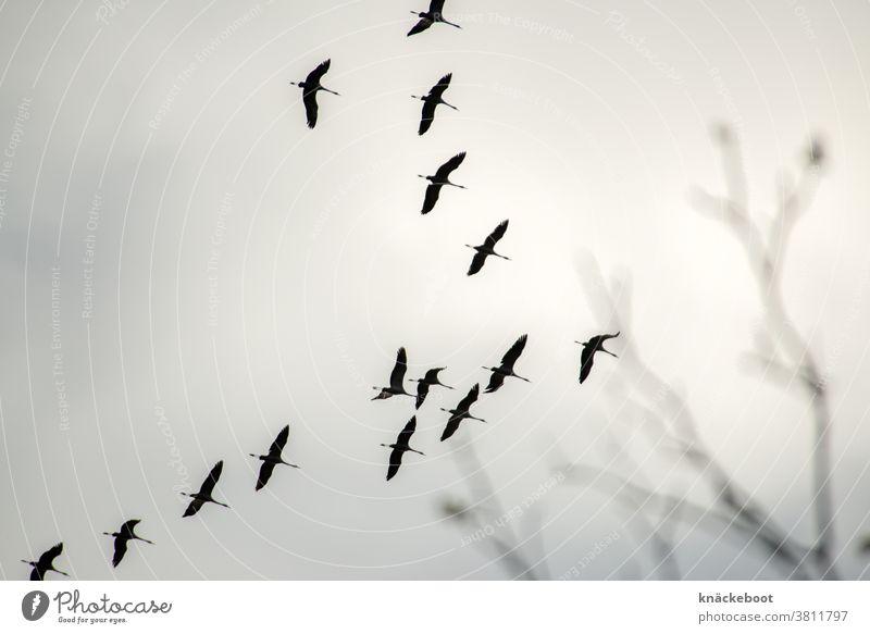 herbst Herbst Natur Kraniche Himmel fliegen Außenaufnahme Freiheit Schwarm Vogel Zugvogel