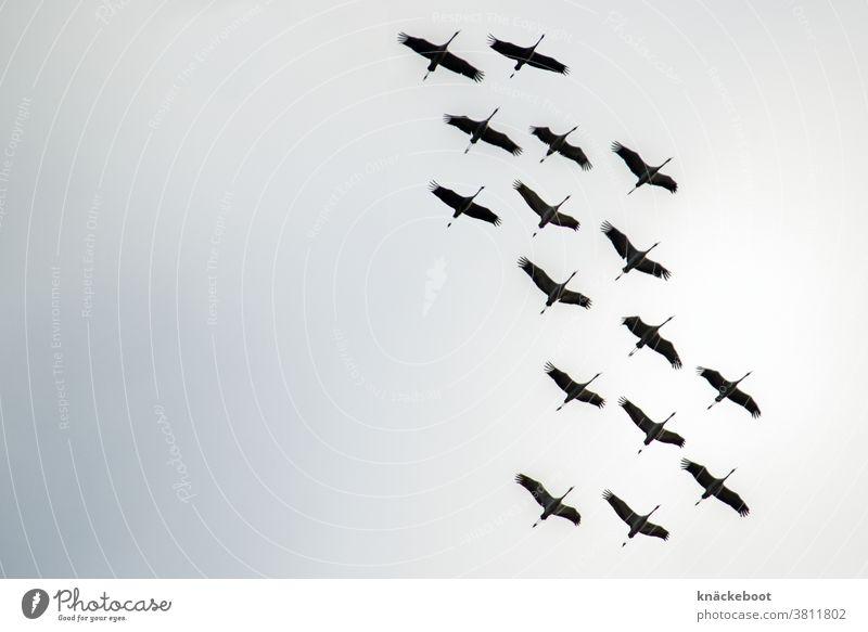 kraniche Zugvögel Vogel Himmel Farbfoto Außenaufnahme Natur Wildtier Vogelschwarm Tag fliegen Zugvogel Freiheit