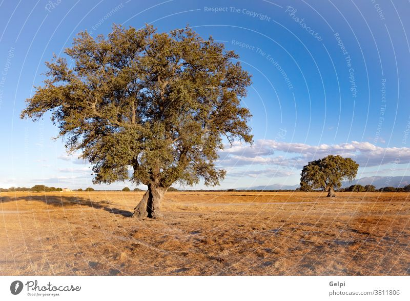 Spanische Wiese im Sommer Feld trocknen Steineiche Spanien Himmel Landschaft Saison Baum Eiche blau Blatt Natur Holz Umwelt Park Pflanze ländlich Frühling Sonne