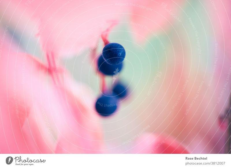 Blaue Beeren am Wilden Wein Wilder Wein parthenocissus Jungfernrebe Herbst Pflanze Schwache Tiefenschärfe mehrfarbig Natur Zentralperspektive
