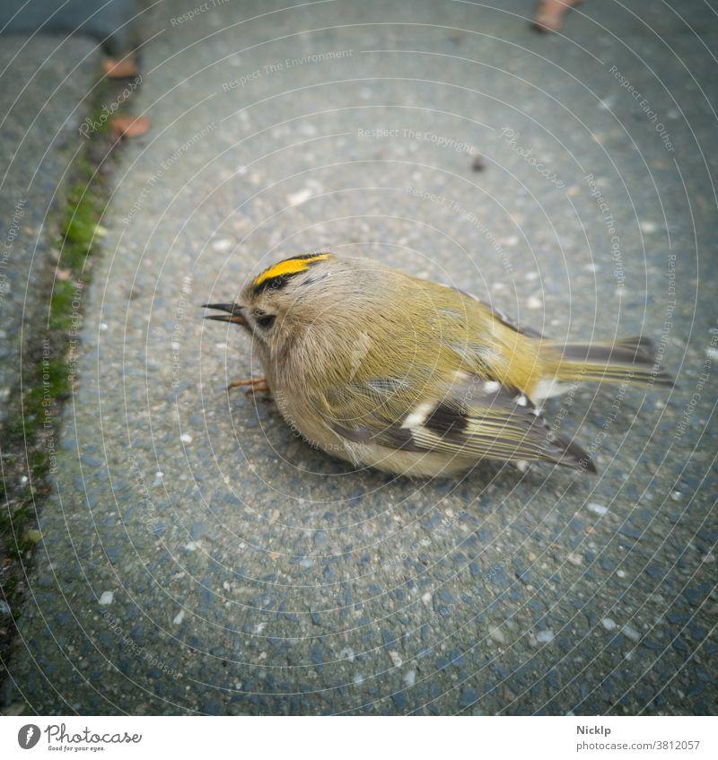 geschwächter kleiner Vogel (Goldhähnchen) sitzt auf dem Boden und braucht Hilfe winzig hilfebedürftig Hilfesuchend Wintergoldhähnchen Regulus regulus