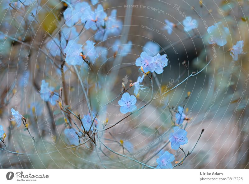 Zarte Blüten der Azaleen Azaleenblüte blau Blume Blumen Rhododendron zart filigran Natur Blühend natürlich Frühling Garten Außenaufnahme schön