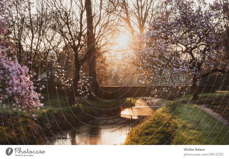 Lieblingsplatz im Paradies - Garten .... blühende Magnolienbäume an einer alten Steinbrücke im warmen Licht der aufgehenden Sonne Magnolienblüte Magnolienbaum