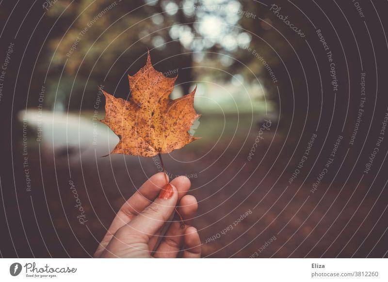 Eine Hand hält ein herbstlich gelb gefärbtes Ahornblatt Herbst Laub Natur draußen Herbstfärbung Blatt Herbstlaub