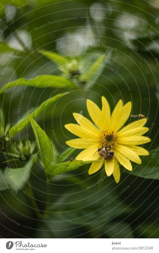 Einzelne gelbe Sommerblume mit einer fleißigen Biene, die den Nektar aufsaugt und die Pollen verteilt Blume Blüte Honig Pflanze saugen Insekt Natur grün