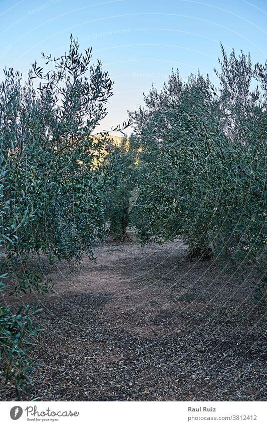 Olivenhaine voller Oliven für die Ernte Bodenbearbeitung Ackerbau Landschaft Bauernhof Erdöl grün ländlich Pflanze Feld oliv natürlich Natur Schonung