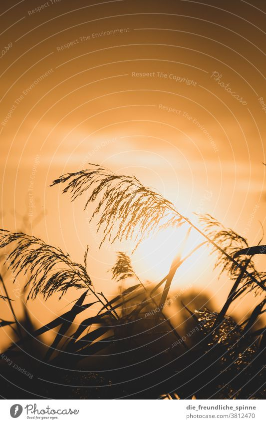Sonnenaufgang Schilf II Wasser Pflanze Farn Sonnenuntergang Gegenlicht Licht schwarz gelb kontrast natur Außenaufnahme Natur Farbfoto Kontrast Sonnenlicht