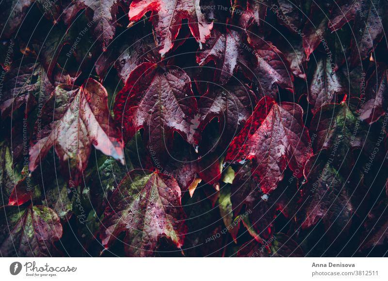 Efeublätter, Herbst-Hintergrundkonzept fallen Blatt Blätter grün orange Saison Natur Garten farbenfroh Farbe Pflanze rot Baum Laubwerk im Freien Textur Oktober