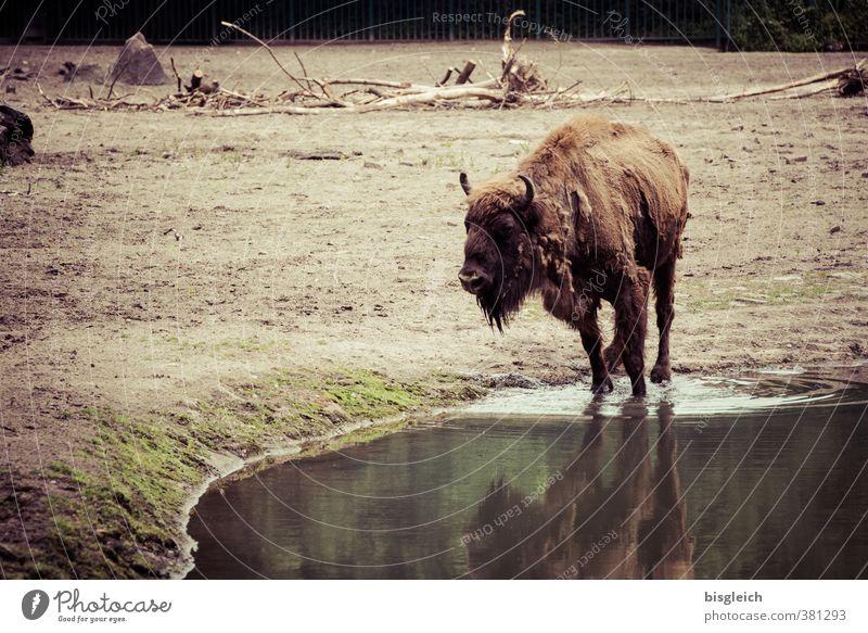 Wasserloch Tier braun Wildtier stehen trinken Fleisch Büffel Bison
