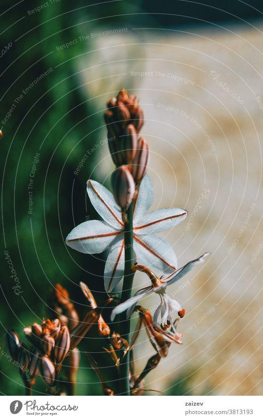 Nahaufnahme einer weißen Asphodelusblüte versteckt asphodelus Asphodelaceae Blume geblümt blühte Blütenknospen Sprossen Überstrahlung Wachstum Flora mediterran
