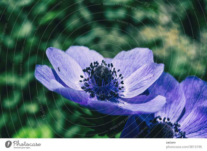 Detail einer violetten Blüte der Anemone coronaria Anemonen-Koronarie Mohnanemone spanische Ringelblume Windblume Kuhschelle mediterran Blume Vegetation Flora