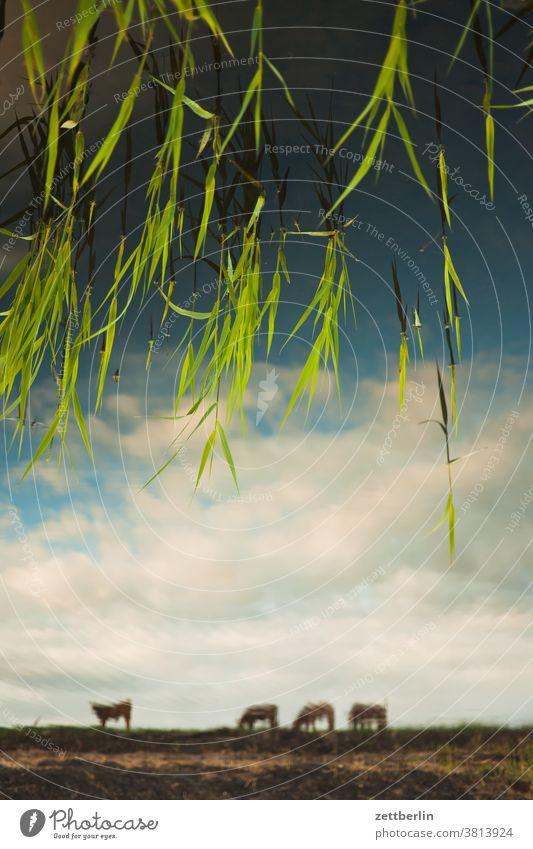 Seekühe im Spiegel teich see wasser wasseroberfläche fluß ufer dämmerung himmel spiegelung spiegeelbild abend feierabend sonnenuntergang herbst wolke