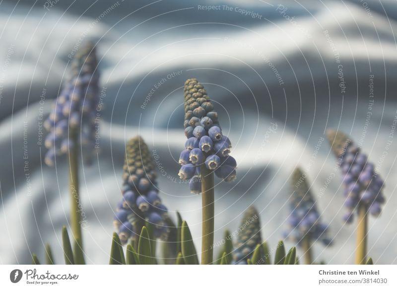Frühlingserwachen in hellblau. Traubenhyazinthen vor zartblauem Hintergrund aus gewelltem Stoff. Perlhyazinten Hyazinthe Blauer Hintergrund Pflanze Blume Natur