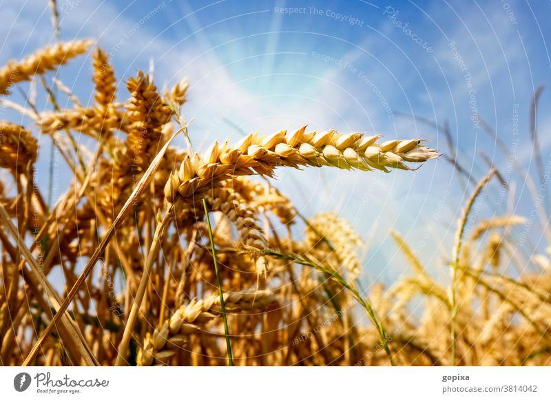 Weizen auf einem Feld Getreide Landwirtschaft Sonne Trockenheit Hitze Umwelt Klima Ernte Ähre Acker Anbau Pflanze Sommer Ökologie Nutzpflanze Sonnenschein