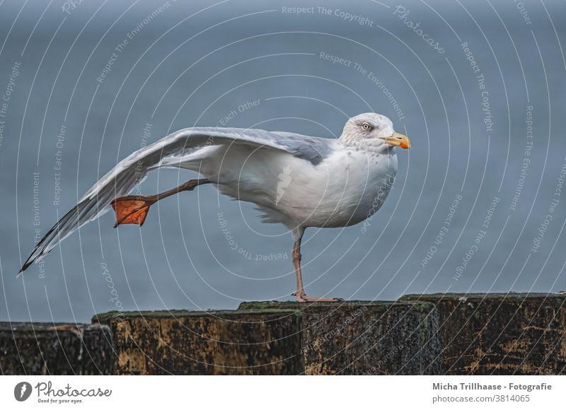 Möwe reckt und streckt sich Silbermöwe Larus argentatus Vogel Tier Ostsee Kopf Schnabel Auge Flügel Federn Gefieder Beine recken strecken Buhnen Tierporträt