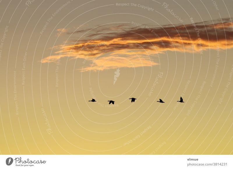 Laut schnatternd flogen die fünf Wildgänse ihrem nächtlichen Ruheplatz entgegen. Vogelflug Abendhimmel Wildgans Vogelbeobachtung Graugans Wolke Schönwetterwolke