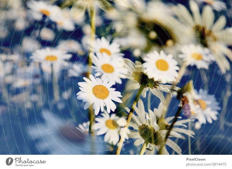 Blumenwiese-heile Welt Wiese Natur Pflanze Sommer Blüte Gras weiß Garten Nahaufnahme Gänseblümchen, flora Unschärfe Menschenleer