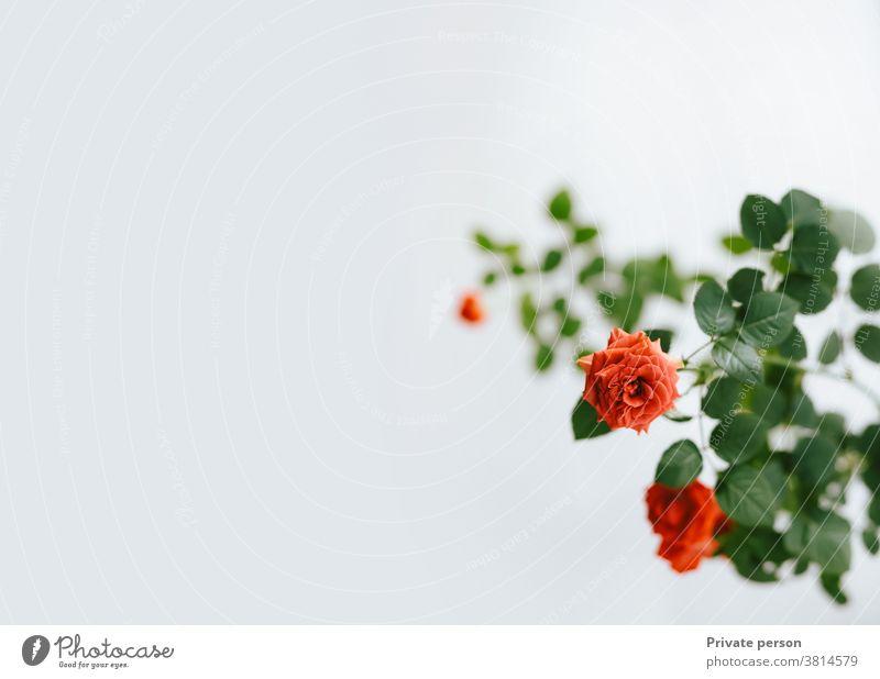 rote Rose auf hellem Hintergrund, Kopierfeld, Grußkarte Roséwein Rosenfarben rosa Blume Blatt Valentinstag Blumenstrauß weiß Blütenblatt Liebe Fotografieren