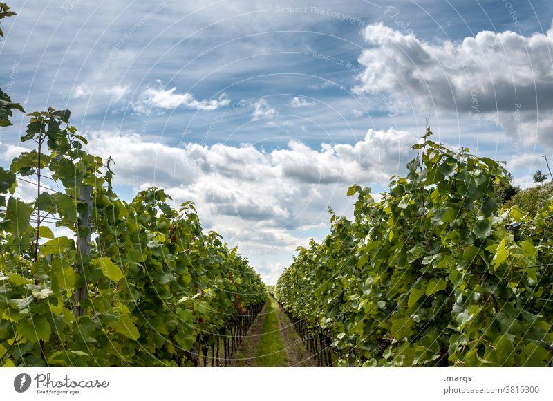 Weinbau Sommer Schönes Wetter Weinberg Kaiserstuhl Perspektive Natur Nutzpflanze Weinrebe Himmel Wolken