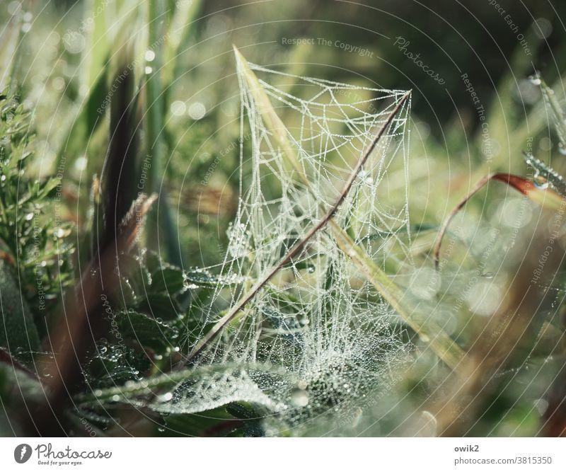 Morgennetz Spinnfäden Leben Grünpflanze natürlich Froschperspektive Grashalme Wachstum nah Wildpflanze frisch Idylle Frühtau glitzern nasses Gras ruhig funkeln
