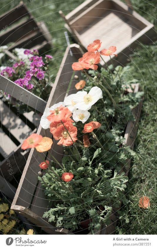 nehme mich mit Natur Pflanze Blume Frühling Garten Schönes Wetter Freundlichkeit Blühend Mohn Gartenarbeit vorwärts Ausstellung verschönern Präsentation Wildpflanze Topfpflanze