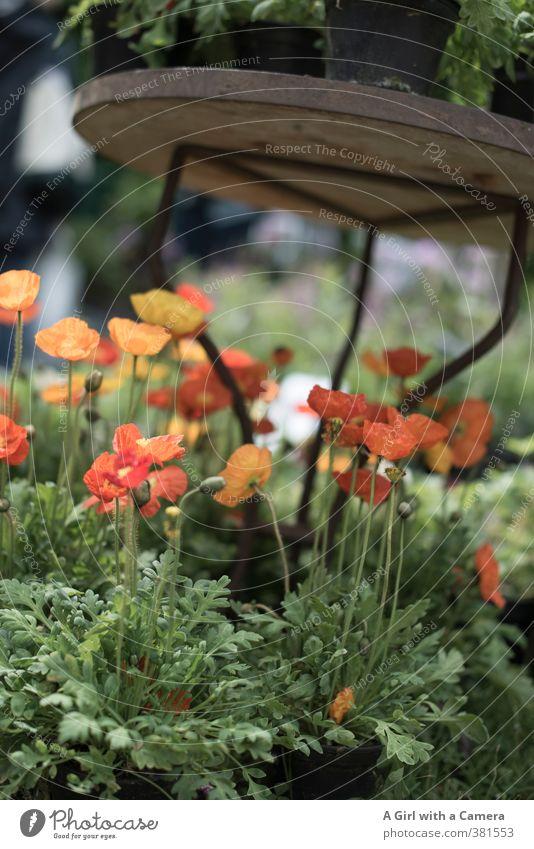 living a sheltered life Natur Pflanze Frühling Schönes Wetter Blume Blüte Topfpflanze Islandmohn Garten Blühend Wachstum Freundlichkeit Fröhlichkeit mehrfarbig