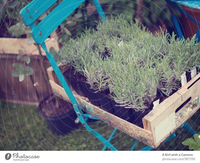 On Sale ........ Natur Pflanze Frühling Nutzpflanze Lavendel Kräuter & Gewürze Garten Wachstum frisch Gesundheit Präsentation Klappstuhl türkis verkaufen Markt