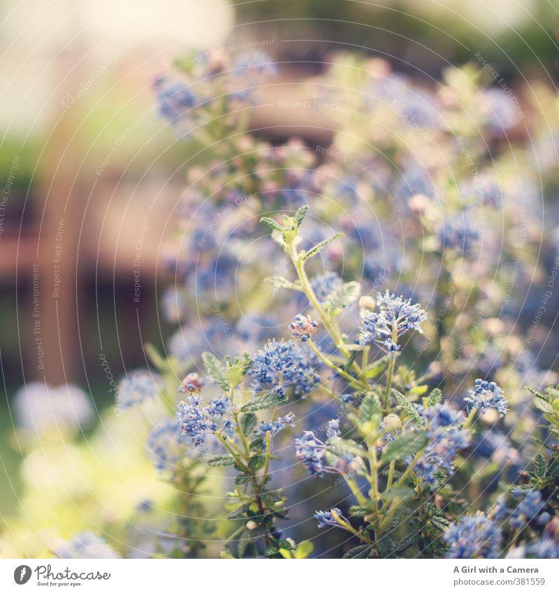 strange color blue Natur Pflanze Frühling Schönes Wetter Blume Blüte Topfpflanze Garten Blühend Wachstum Fröhlichkeit frisch blau Außenaufnahme Detailaufnahme