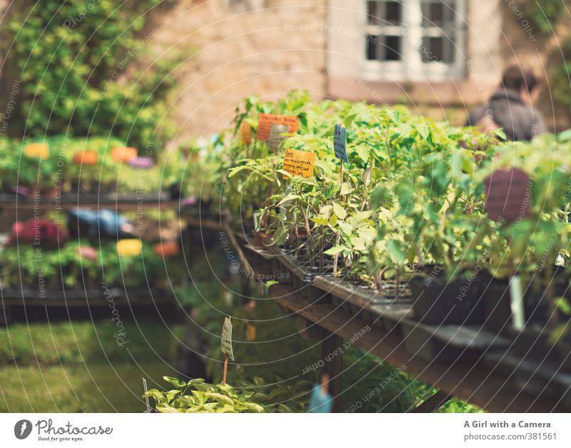 on display at the flower show Natur Pflanze Frühling Schönes Wetter Nutzpflanze Topfpflanze Kräuter & Gewürze Gemüsegarten mehrfarbig verkaufen Tisch Angebot