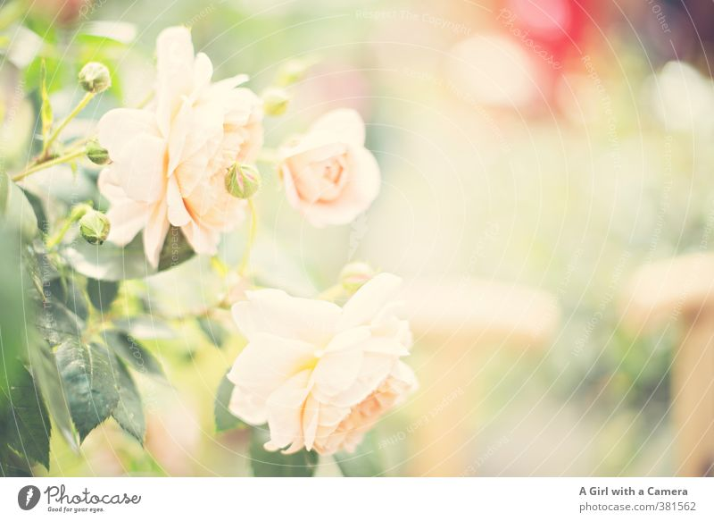 love = roses Natur Pflanze Frühling Sommer Blume Rose Blüte Grünpflanze Garten Park Blühend Wachstum ästhetisch außergewöhnlich frisch rosa Blütenknospen zart
