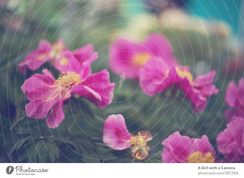 *I* Natur Pflanze Blume Frühling Garten Zusammensein rosa Blühend verschönern Topfpflanze