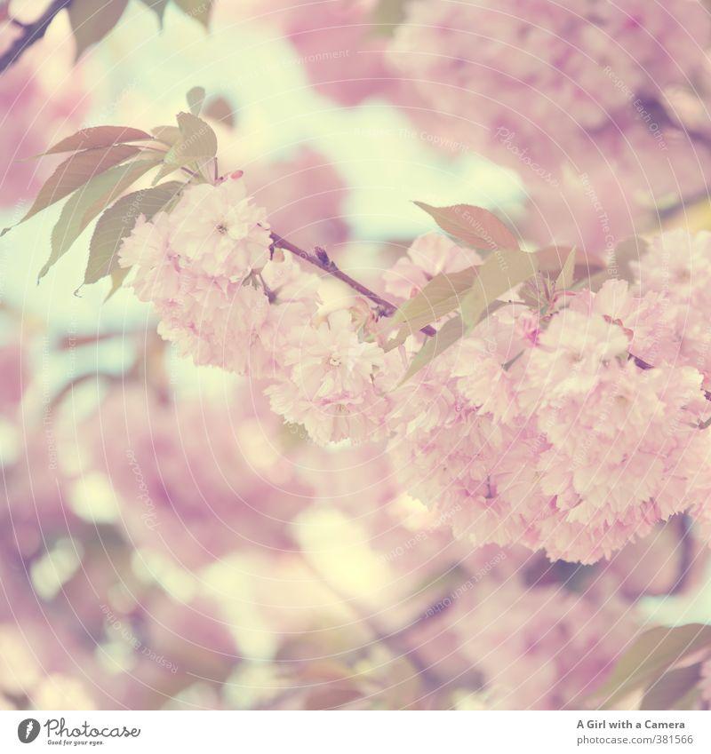 vintage spring Natur Pflanze Frühling Baum Blüte Garten Park Blühend schön natürlich feminin weich rosa prächtig Kirschblüten Gedeckte Farben Außenaufnahme