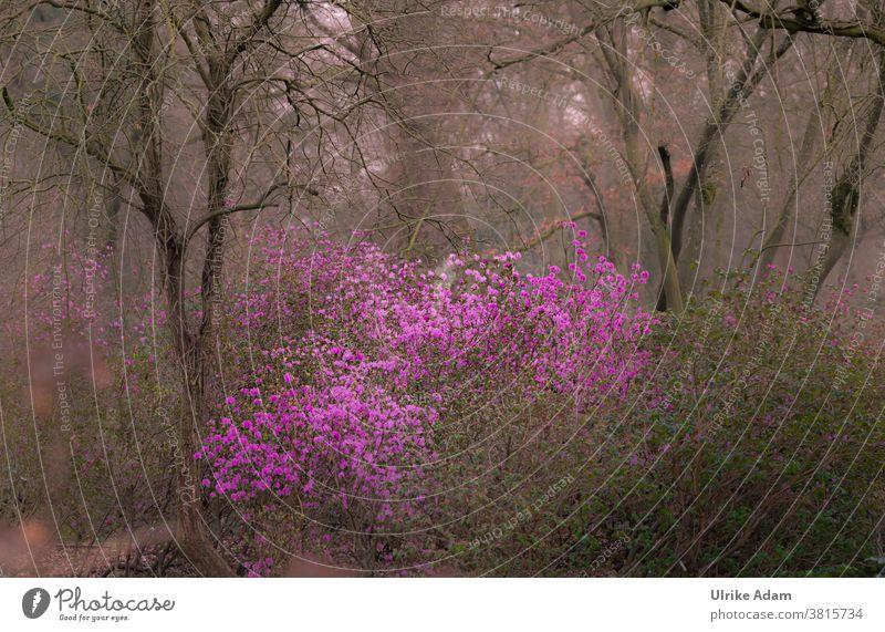 Frühlingserwachen - Azaleen Blüte im März - Rosa Blüten machen Lust auf Frühling im noch tristen Garten Rhododendron mystisch farbtupfer Außenaufnahme Blume
